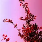 """Cherry flavored Beech"" by shindigenometry"