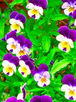 Creeping Pansy