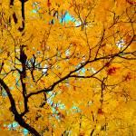 """Blonde Sugar Maple"" by shindigenometry"