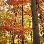 """Orange Birch"" by shindigenometry"