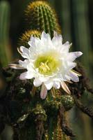 White Cactus flower bloom