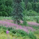 """""""Alaskan Flora"""" by HBarrison"""
