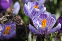 Purple Glory - Purple Crocuses