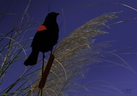Red Winged Blackbird at Twilight
