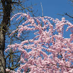 """Trees Spring Pink Flower Blossoms Baslee"" by BasleeTroutman"