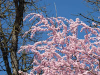 Trees Spring Pink Flower Blossoms Baslee