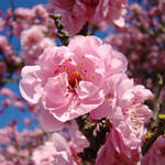 """Pink Tree Spring Blossoms art prints"" by BasleeTroutman"