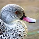 """Cape Teal"" by wbvs"