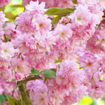 """Spring Tree Blossoms Flowers art prints"" by BasleeTroutman"