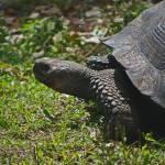 """SantaCruz_2010 10 01_1318   Galápagos Tortoise"" by HBarrison"