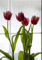 Tulips in My Window
