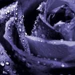 """Rainy Day Rose"" by djphotos"