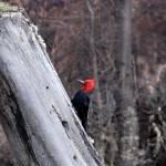 """Woodpecker"" by BumbleBee"
