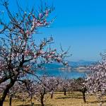 """""""Almond Blossom"""" by indiannes"""