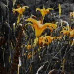 """""""Sweet Lilies"""" by ArtsyPoet2"""
