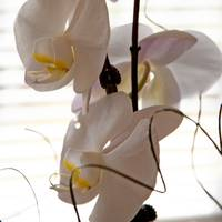 Orchids from my Valentine