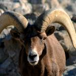 """Big Horn Sheep"" by dmapix"