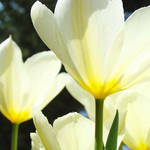 """Tulips White Sunlit Glowing"" by BasleeTroutman"