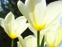 Tulips White Sunlit Glowing