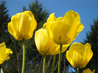 Tulips Bright Yellow