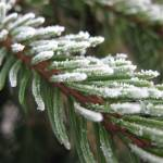 """Centralia College Winter Walkabout Frosted Needles"" by zacharyallenpilz"
