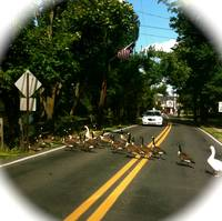 Ducks Crossing