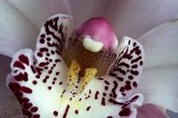 orchid like a muzzle