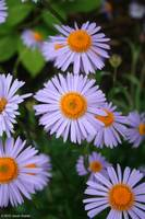 morning's aster