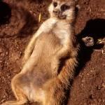 """Meerkat"" by dmapix"