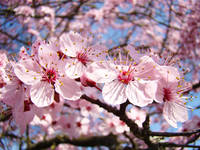 Tree Blossoms Pink Spring