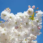 """Spring Tree Blossoms art prints"" by BasleeTroutman"