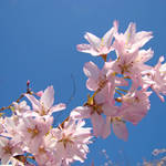 """Blue Sky Spring Pink Blossoms"" by BasleeTroutman"