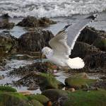 """""""Montauk / Gull in Flight"""" by HBarrison"""