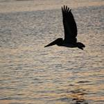 """Floreana / Pelican in Flight"" by HBarrison"