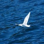 """""""Alaska / Gull in Flight"""" by HBarrison"""