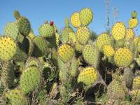 Crystal Cove Cacti