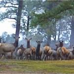 """""""Elk"""" by Nicole645"""