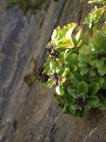 Plant on Sheer Rock Face