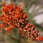 """Ocotillo Blossom"" by pbycraftphotography"