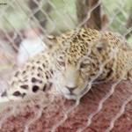 """Jaguar"" by JWRayII"