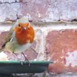 """Robin"" by diavolo_felice"