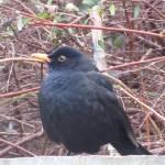 """""""Blackbird"""" by diavolo_felice"""