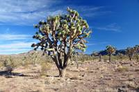 Tall Tree in a Desert
