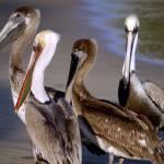 """""""Pelicans"""" by raetucker"""