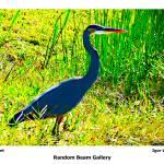 """Grey Egret"" by randombeam"
