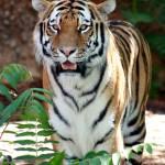 """""""Tiger"""" by purpleflower"""