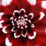 """""""Red Dahlia"""" by purpleflower"""