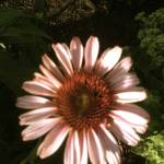 """Daisy Closeup"" by RASArtDesigns"