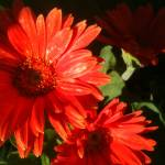 """Gerber Daisy"" by RASArtDesigns"