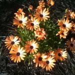 """Orange Shasta Daisy"" by RASArtDesigns"